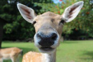 fallow-deer-602253_640